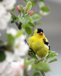gold finch |Pinned from PinTo for iPad|