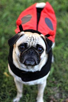 Ladybug pug #pugs #puglife