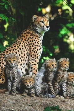 World Of Wildcats #earth  #nature #wilderness #animals #big #cats #wildcats #world #tiger #cheetah #leopard #lion #panther #caracal #lynx #ocelot #wildlife #pack #sf #asia #europe #africa #america #photography #black_&_white