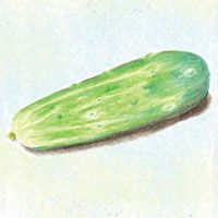 """Cucumber : Fin De Meaux - High yielding vines produce 2"""" long fruits used for Cornichon pickles"""