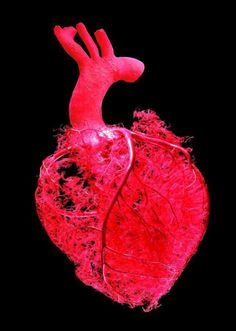The Coronary System includes the blood vessels that supply the muscle tissues of the heart with blood. Vanitas, Gunther Von Hagens, The Mind's Eye, Medical Art, Anatomical Heart, Circulatory System, Blood Vessels, Heart Vessels, Anatomy And Physiology