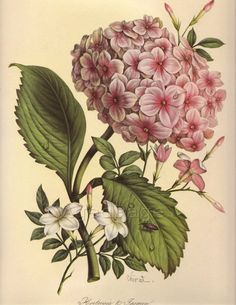 Vintage Botanical Print, 1940s, Flower Print to Frame, Home and Garden, Hydrangeas and Jasmine No. 10 via Etsy