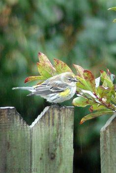 cute fat bird--yellow-rumped warbler