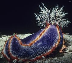This sea cucumber has its feeding tentacles extended. After sea cucumbers catch food this way, they stuff their tentacles into their mouths.