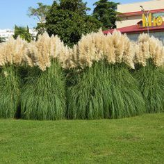 Image result for pampas grass care