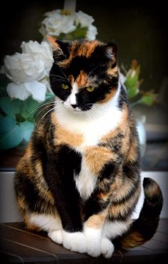 Glckskatze calico cat names 250 great ideas for naming your calico kitten Pretty Cats, Beautiful Cats, Animals Beautiful, Cute Animals, Animals Images, Hello Beautiful, Cute Cats And Kittens, Cool Cats, Kittens Cutest