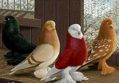 I didn't know that Doves have so many different colourations...spectacular!