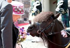 Cheeky: The pony nibbled on the Queen's posy during a visit to Stirling Castle last month...