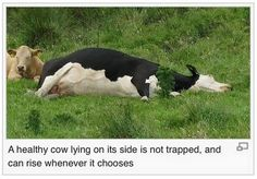 At least I'm a healthy cow 🐄🐄 Cool Tumblr, Tumblr Funny, Funny Animal Pictures, Funny Animals, Animal Memes, Funny Photos, Brooklyn 9 9, Funny Pins, Funny Stuff