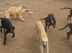 greyhound pups at lindray park yahoo Omar x Phyllis Allen pups at lindraypark greyhounds 2,000