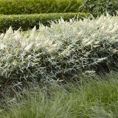 Aug to Oct flowers Buddleja davidii White Ball - 1 shrub Buy online order yours now Buddleja Davidii, Low Maintenance Shrubs, Summer Plants, Plantation, Large Flowers, Garden Plants, Peonies, Bloom, Gardens