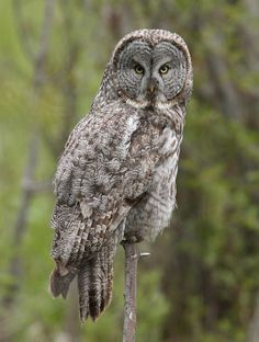The best destinations, hotspots, places or sites for birds and wildlife in Wyoming. Strix Nebulosa, Great Grey Owl, Owl Pictures, Gray Owl, Raptors, Bird Watching, Wyoming, Finland, Owls