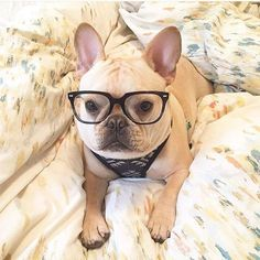 """""""Do my Dad's Glasses make me look Nerdie?"""", concerned French Bulldog, Instagram photo by @frenchie_bulldog via ink361.com http://ift.tt/1TZDrZj"""