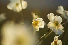黄昏時の秋明菊 : ふつうのコト
