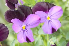 Violas- johnny jump-ups-light purple & dark purple