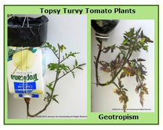 Geotropism, the movement of the root toward the force of gravity and away from light.