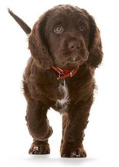 Hearing dog sponsorship puppy Coco www.hearingdogs.org.uk