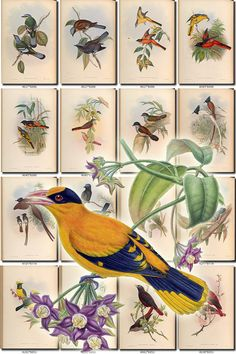 BIRDS-147 Collection of 175 vintage pictures Tit Oriole Nuthatch Cochoa Pericrocotus Thickhead digital download printable 300 dpi animals           data-share-from=listing        >           <span class=etsy-icon