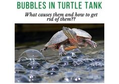 bubbles on top of water turtle tank. why are there bubbles in my turtle tank Turtle Care, Pet Turtle, Turtle Tank Filters, Cleaning Buckets, Bubbles, Pets, Water, Top, Gripe Water