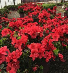 [+] Click to enlarge  This dwarf azalea packs a powerful punch of rich, true red color with semi-double velvety blooms. Its glossy, dark green foliage deepens to a saturated purple bronze in winter adding year round appeal to gardens.