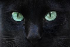 color de ojos de gato negro - Buscar con Google