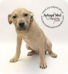 URGENT!  I am at a kill shelter in Troy, OH - Pit Bull Terrier Mix. Meet Skipper a Puppy for Adoption.