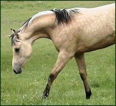 Dappled arab horses   dappled dun horses   Dappled Zebra Dun - Arabian x Quarter Horse mare ...