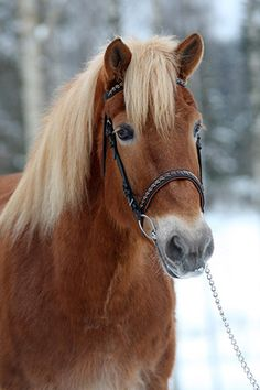 own Finnish race Rare Horses, Wild Horses, Farm Animals, Animals And Pets, Cute Animals, Fjord Horse, Icelandic Horse, Hobby Horse, Horse Pictures