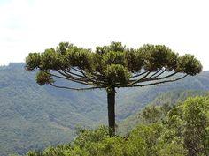 Araucaria angustifólia, native to Brazil