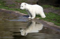 """Polar bear cub """"Cute knut"""" Berlin Zoo"""