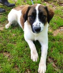 Donald is an adoptable Collie Dog in Yardley, PA. This good looking fella is Donald, a Collie mix of 10 to 12 months.  He's a big boy, about 52 lbs., and he's calm and sweet.  He loves to play with ev...