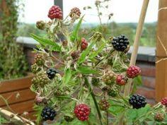 bramen en frambozen in pot kweken met groeitips
