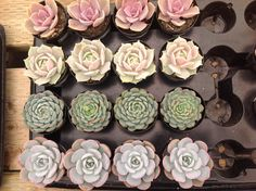 Succulent Plants, Beautiful assortment of 30 succulents great use for wedding favors/party favors.