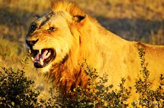 I'm the boss of the jungle! #Lion #Kruger #GameDrive