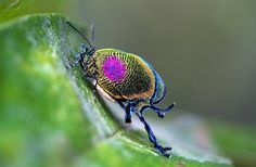 8 Outrageously Weird Insects : The Featured Creature Weird Insects, Types Of Insects, Flying Insects, Bugs And Insects, Rainforest Butterfly, Insect Orders, Shield Bugs, Leafhopper, Flying Flowers