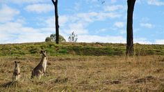 Kangaroos graze on an empty block in Mount Larcom near Gladstone Adventure Holiday, Gladstone, Rural Area, Queensland Australia, Kangaroos, Camping And Hiking, Great Barrier Reef, Country Living, Cool Places To Visit