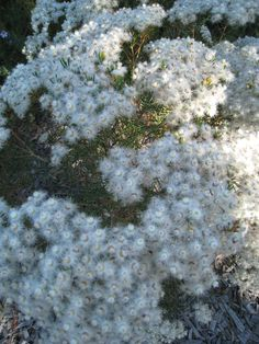 Verticordia monodelpha White Flowering Form.  Flowering now. Give a Gift Voucher for Christmas of Australian native plants. www.australiannativenursery.com