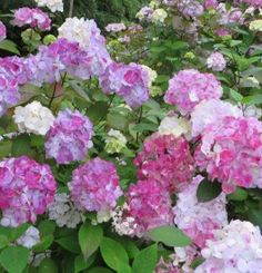 Hydrangea serrata 'Preziosa' - Hortenzia