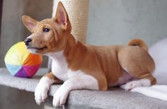 Cute Puppies, Cute Dogs, Dogs And Puppies, Doggies, Animals And Pets, Baby Animals, Cute Animals, Quiet Dog Breeds, Basenji Puppy