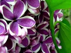 Lilacs...even hybrids I've yet to see.