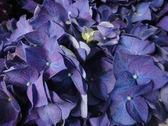 hydrangea rodeo lilac