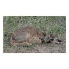 A0006 Baby Pronghorn Antelope Print - Flatlandersam