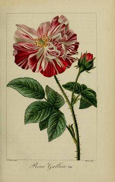 Rosa gallica Mordant De Launay, F., Loiseleur-Deslongchamps, J.L.A., Herbier général de l'amateur,(1817-1827). Illustration contributed by Natural History Museum, London, U.K.