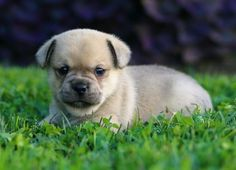 Pug & Chihuahua Chug Pug Mixed Breeds, Baby Pugs, Cute Dogs And Puppies, Cute Baby Animals, Chihuahua, Cute Babies, Labrador Retriever, Pets, Board
