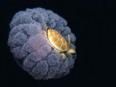 O ţestoasă călărind pe o meduză., 18 fotografii cu adevărat remarcabile care trebuie să fie văzute de toată lumea - (Page 2)