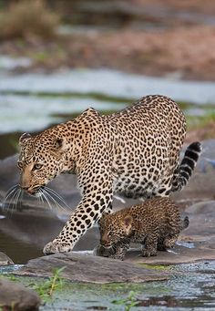 Leopard and Her Cub...haha...luk at that  tiny one:):)....seriously involved in learning hunting skills from mom:)