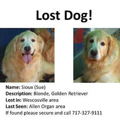 LOST GOLDEN ALERT! Crystal aka Souix is missing in the Wescosville, PA area since 11 this morning -September 21 2012 - Please, if you see her secure her and call DVGRR 717-484-4799. She is a former puppy mill dog, she's social, but still shy.