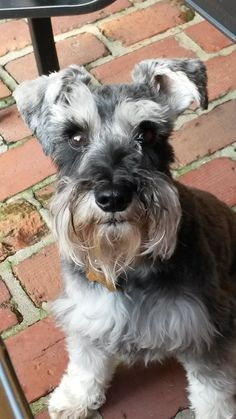 Jackson | A community of Schnauzer lovers!