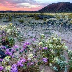 Venture into a stunning mosaic of rugged mountain ranges, ancient lava flows and spectacular sand dunes at #MojaveTrails National Monument in California. Visit now to witness an early spring #superbloom. Amboy Crater currently has #wildflowers stretching out to the horizon in a stunning natural display. #MeetUsonRoute66 to see it for yourself this Saturday at 4:30 pm PT during an InstaMeet at #California's Amboy Crater. Photo by Bob Wick, @mypubliclands. #usinterior #trackthebloom