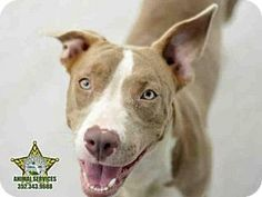 Tavares, FL - American Pit Bull Terrier. Meet BELLA, a dog for adoption. http://www.adoptapet.com/pet/13217894-tavares-florida-american-pit-bull-terrier
